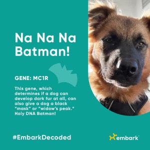Embark cool canine traits - Batmen - Gene MC1R