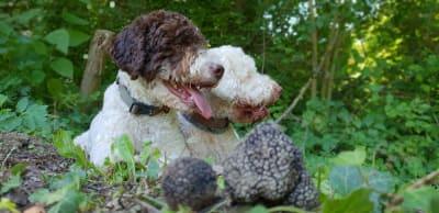 lagotto romagnolo truffles
