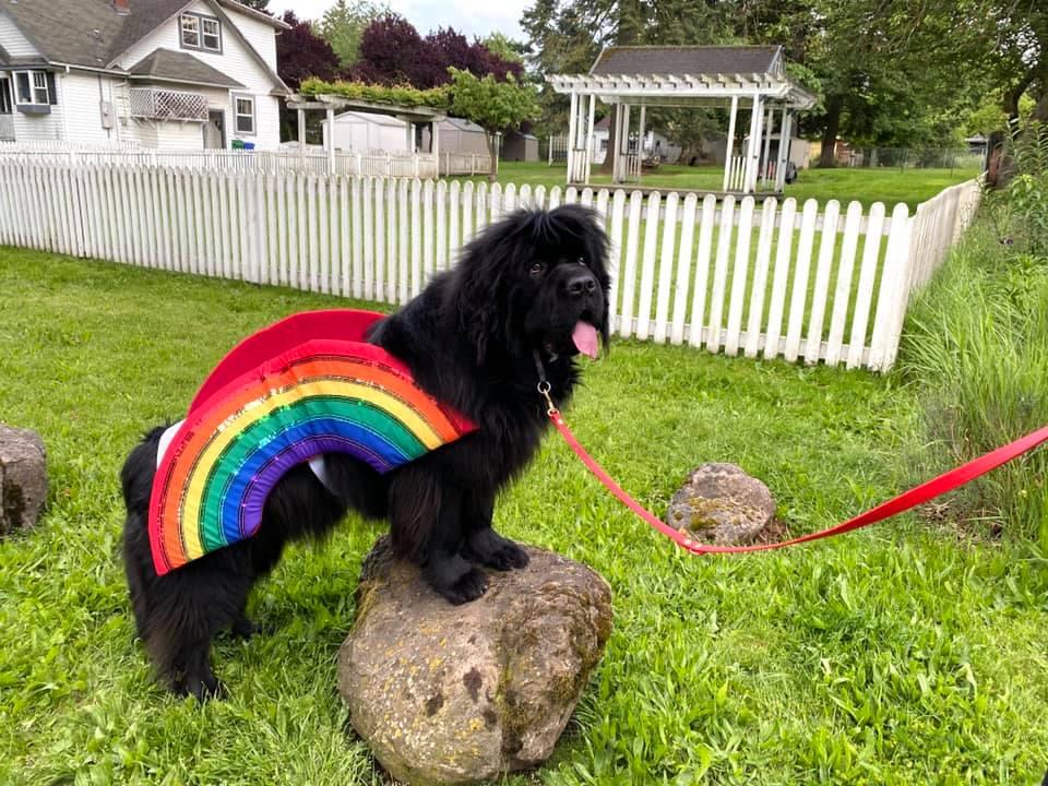 Newfoundland Sirius in Pride Costume