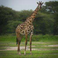 A giraffe as seen on an Embark Serengeti safari