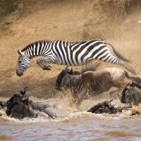 Zebra leaping into a river with wildebeests