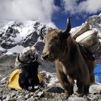 A yak carrying supplies to Mt. Everest Base Camp, Himalayas, Nepal