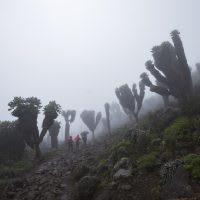 Dendrosenecio Kilimanjari trees in the fog