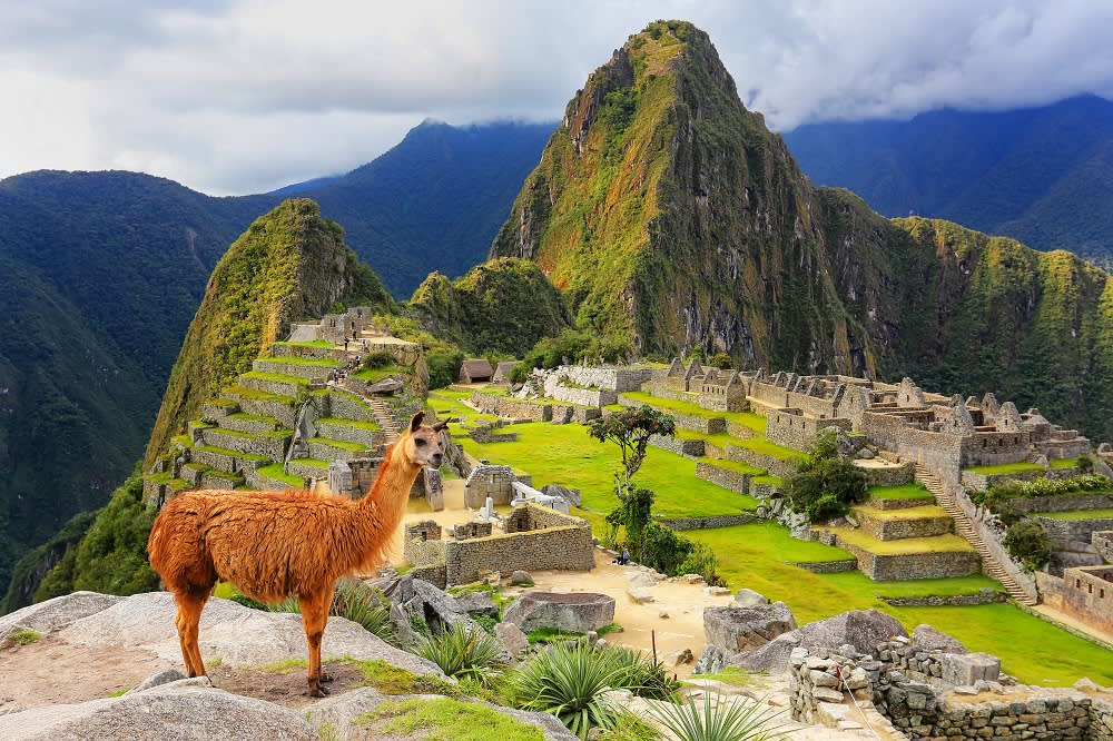 Llama standing at Machu Picchu overlook in Peru South America