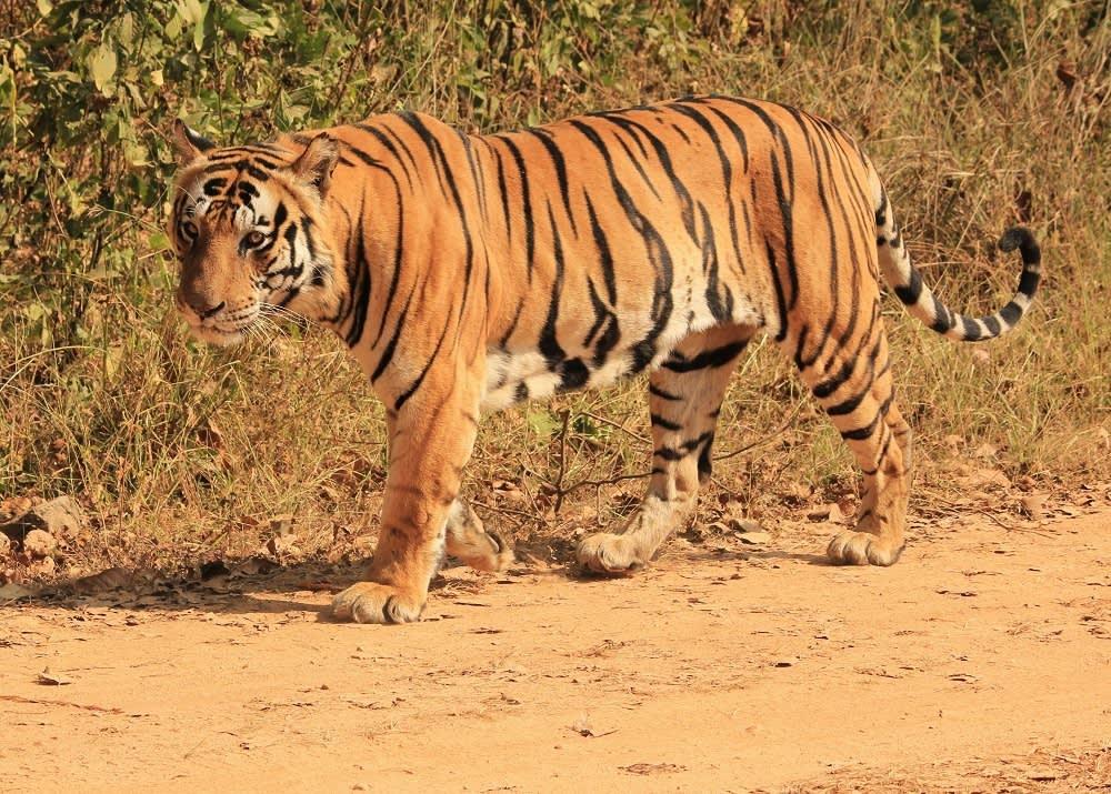Enchanting Travels - Parik's memorable travel experiences- wild male Bengal tiger on the prowl, Kanha National Park, India