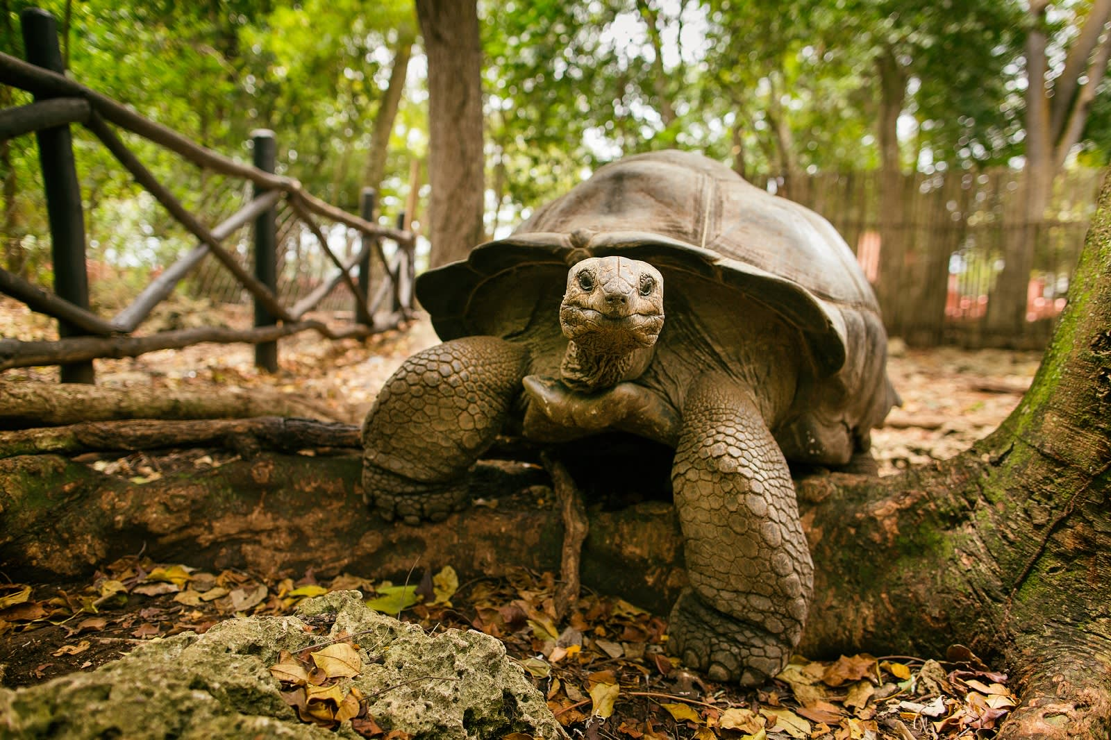 An Aldabra giant tortoise looks out from its shell on Prison Island off Zanzibar.
