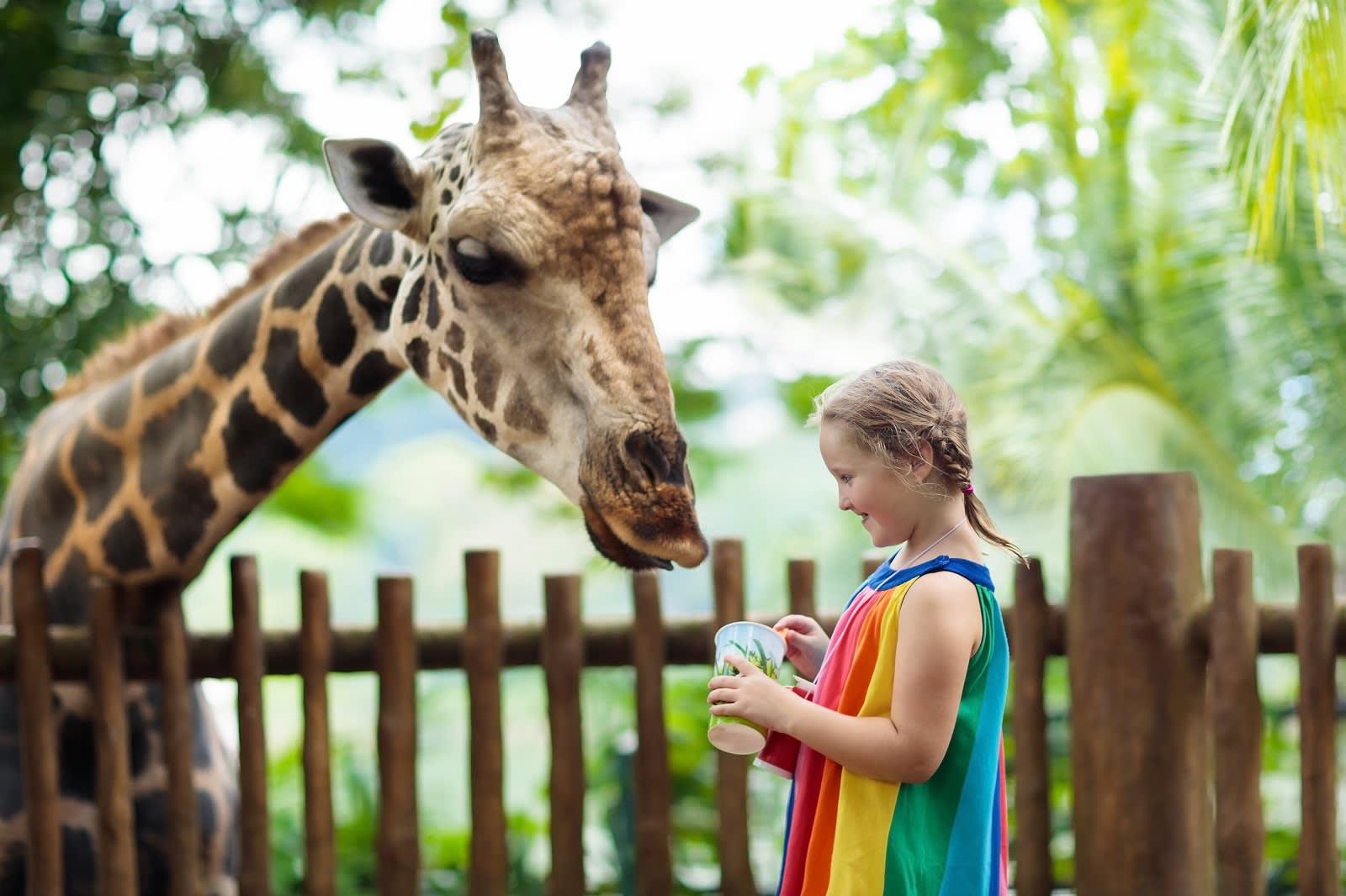 Children feed giraffes in tropical safari park at Singapore