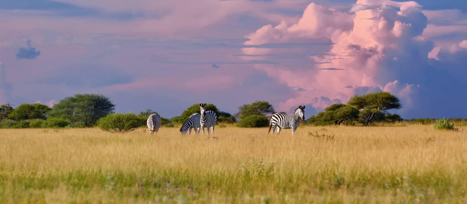 Herd of Plains zebra, Equus quagga, standing in the lush savanna, , Nxai Pan, Botswana, Africa