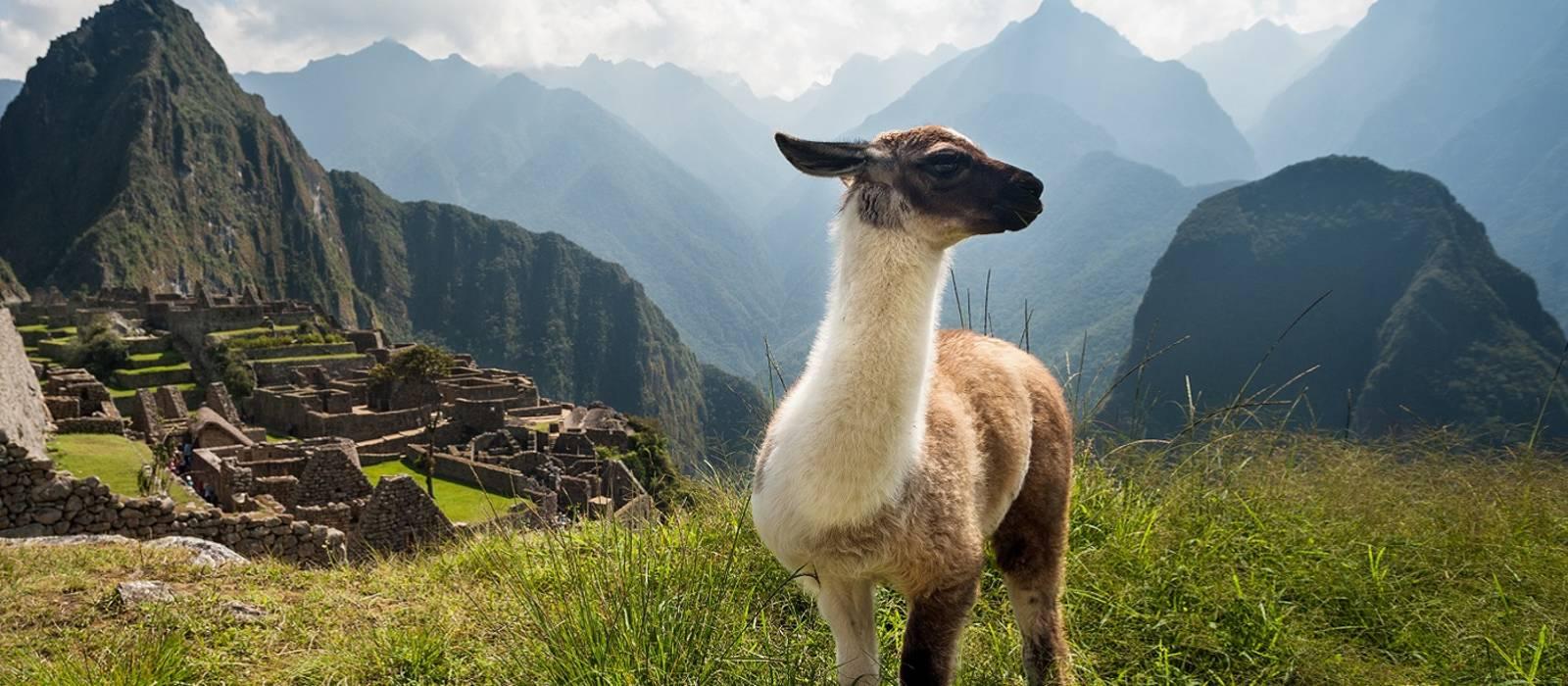 Llama, Ancient City, Machu Picchu, Peru, South America
