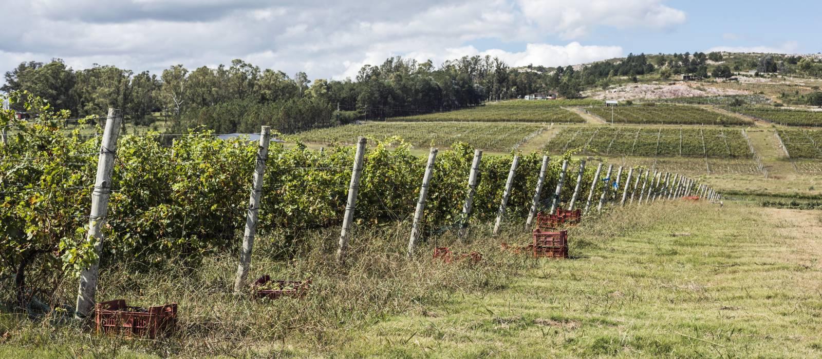 Weinreben bei Punta Del Este auf der Weinroute (Caminos del Vino) in Uruguay