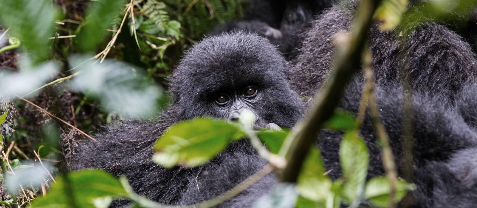 Baby Gorilla in Volcanoes National Park, Rwanda, Africa - things to do in rwanda
