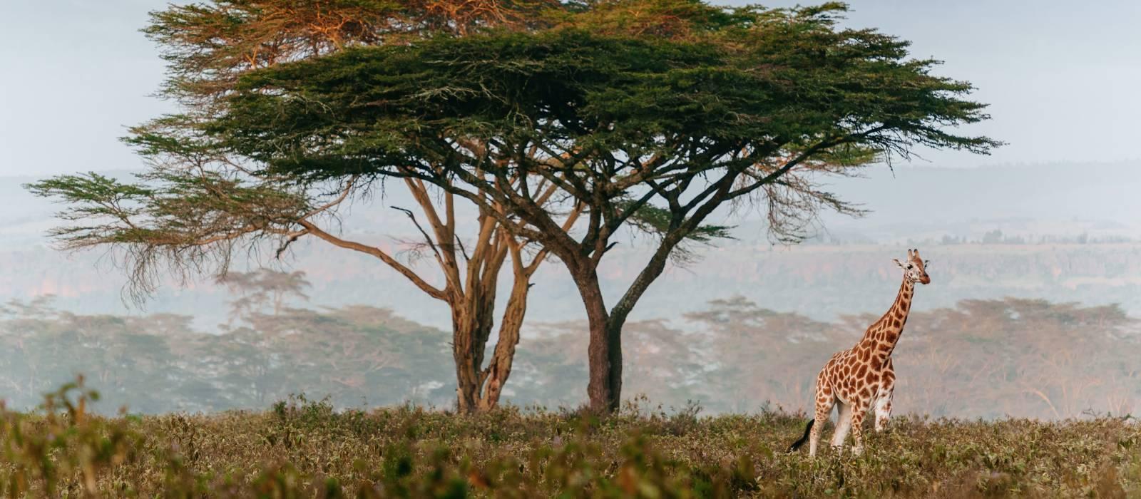 roaming giraffe, South Africa