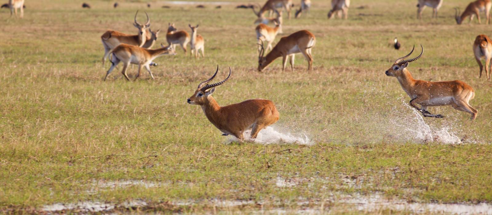 Kafue Flats lechwe (Kobus leche kafuensis) running in the water on the plains, Zambia, Africa