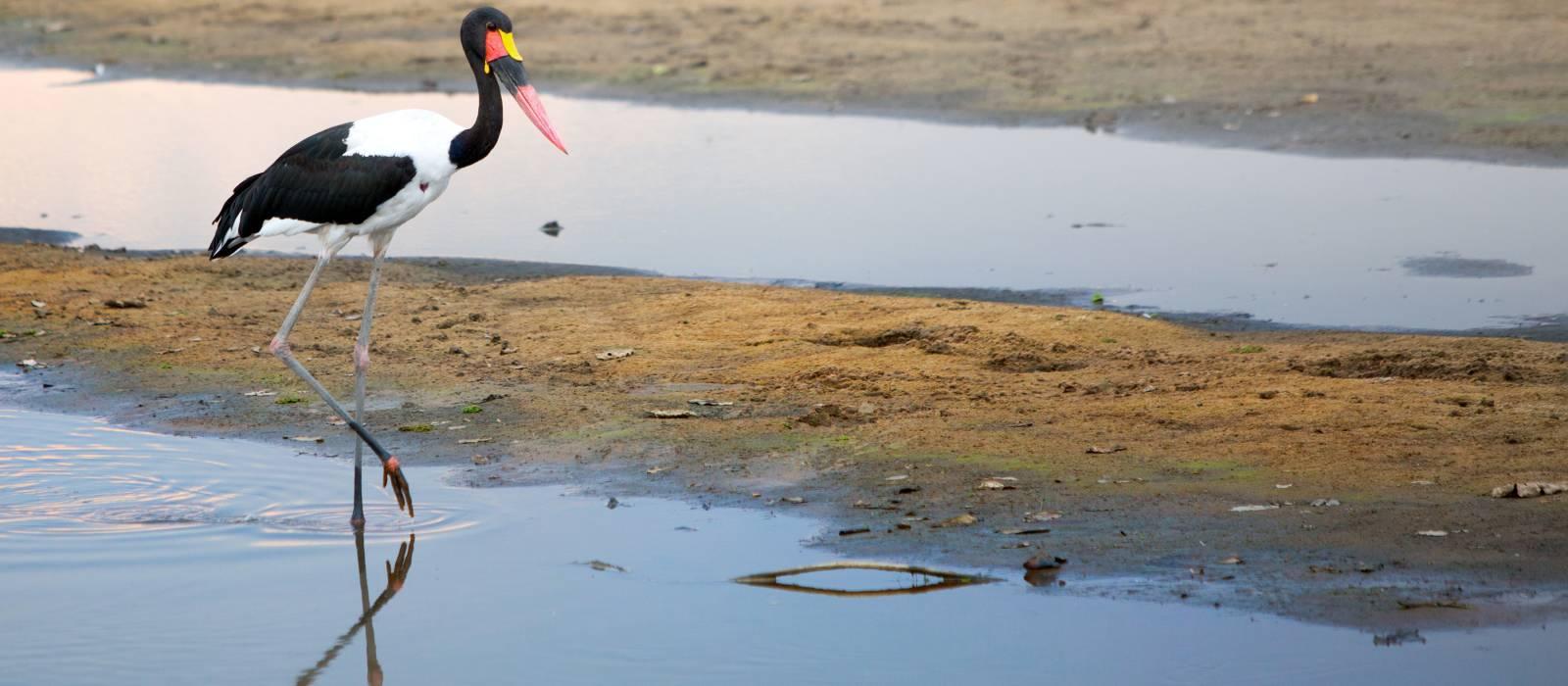 Sattel – abgerechnet Storch, Nahrung Senegalensis, South Luangwa Nationalpark, Sambia, Afrika