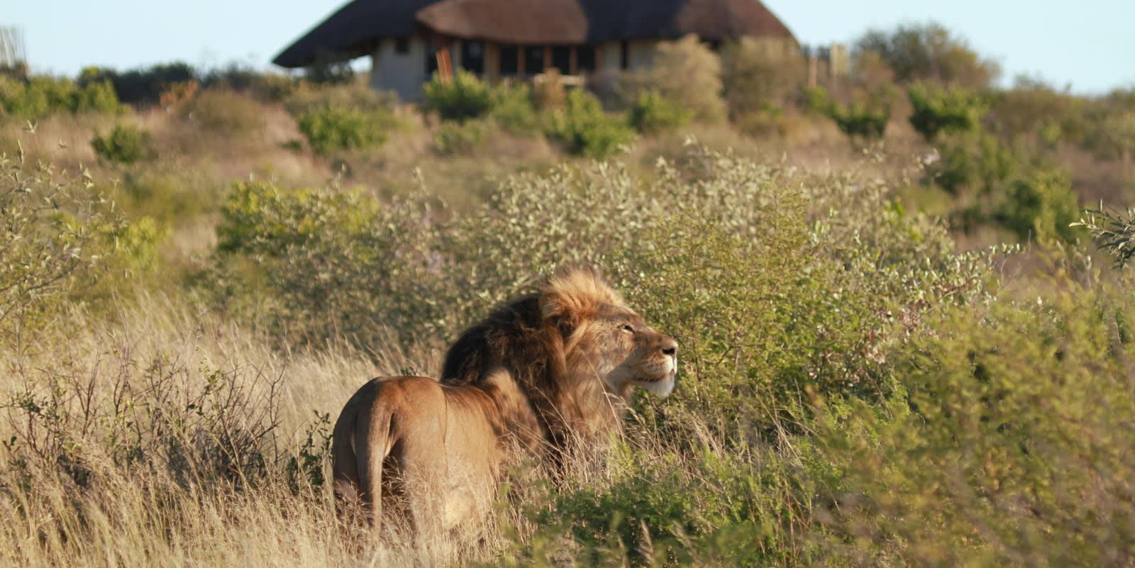Löwen sind das Highlight jeder Safari