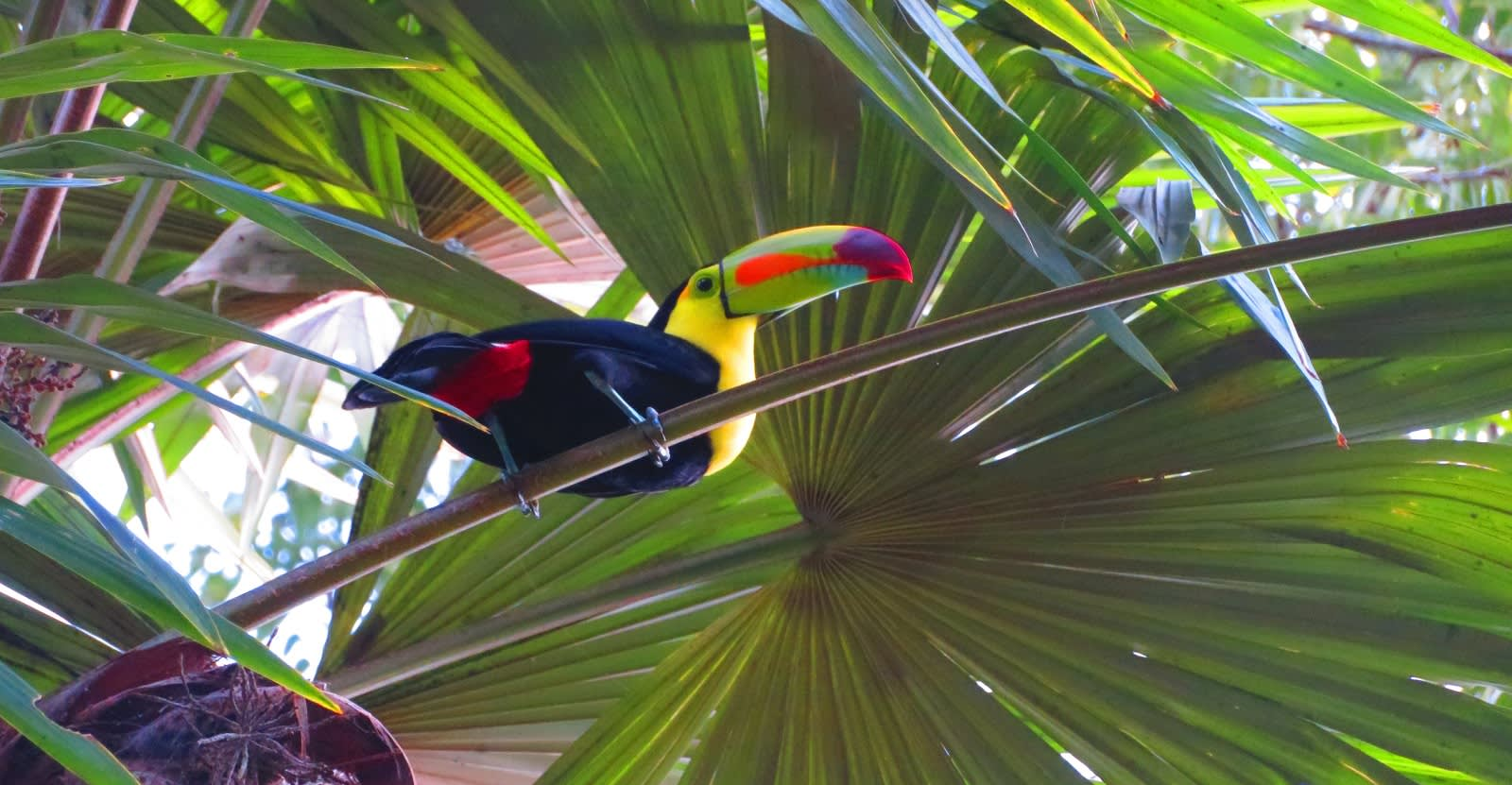 Sight colorful toucans in Tikal.- Guatemala travel guide