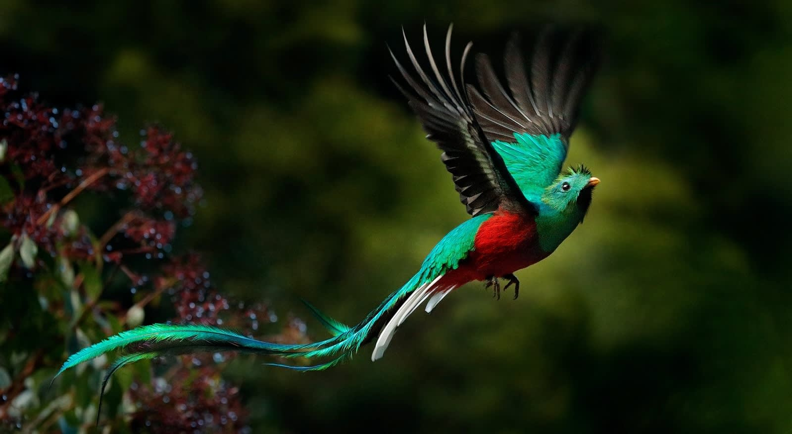 Quetzal, Pharomachrus mocinno, Savegre in Costa Rica