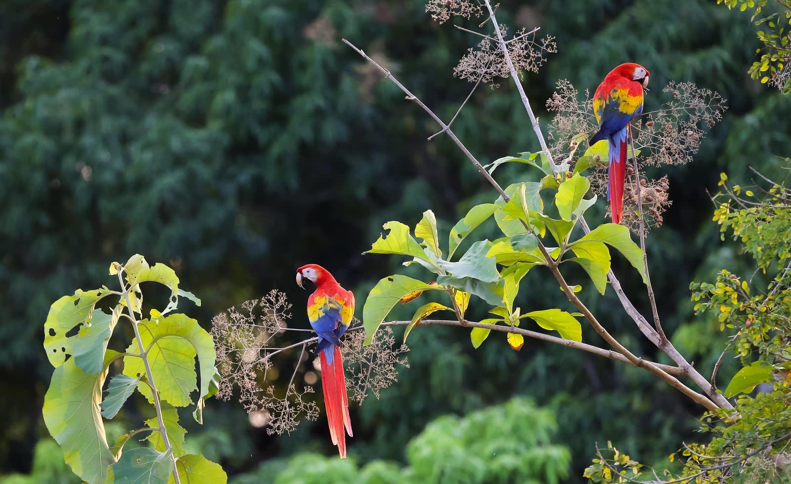 Hellrote Aras in Costa Rica