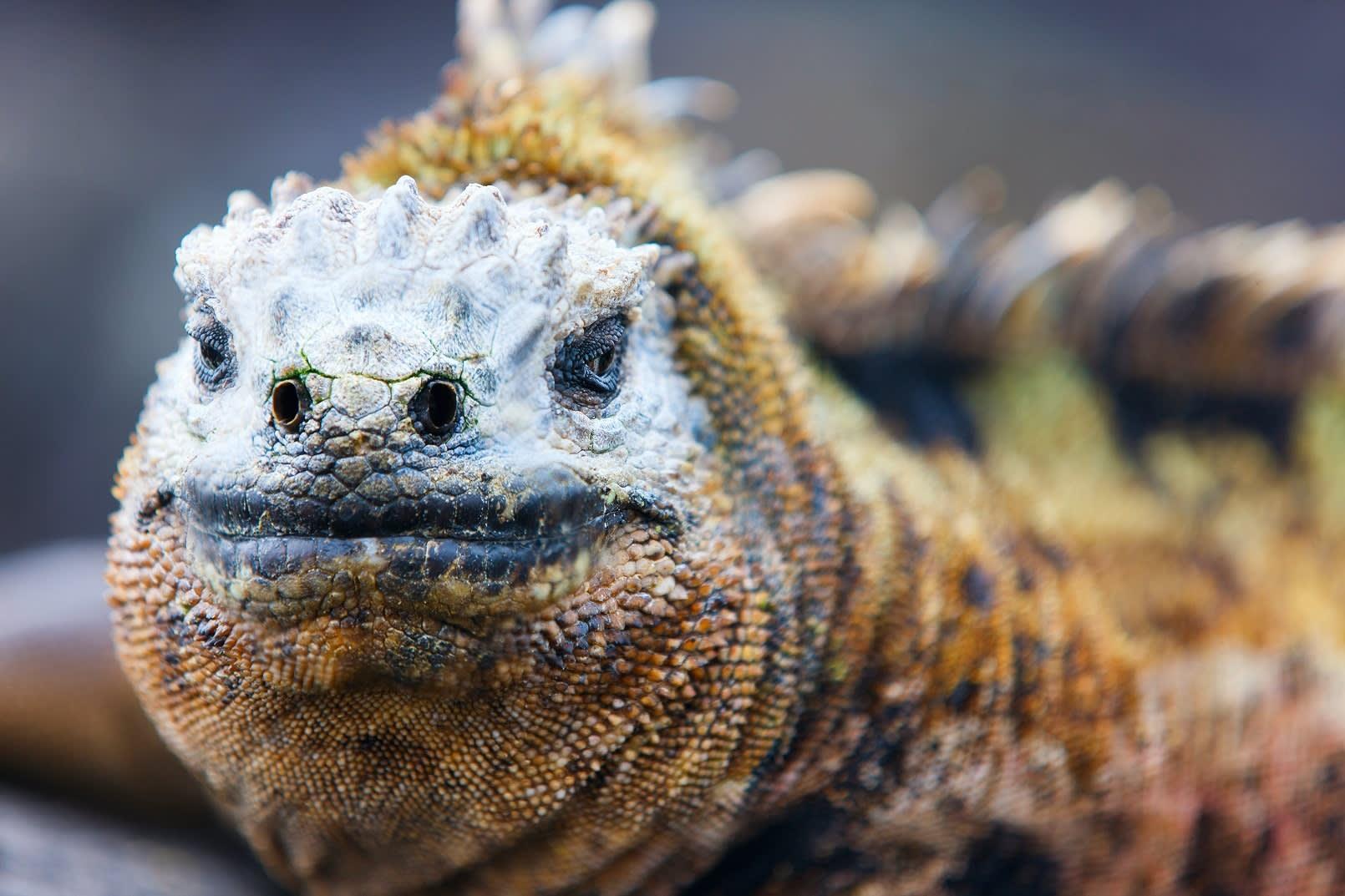 Echse von Galapagos