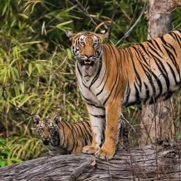 Mother-with-cubs-at-Tadoba-Andhari-Tiger-Reserve-Maharashtra-India-Asia-Enchanting-Travels