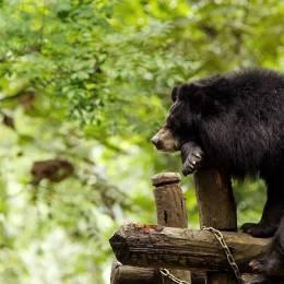 asia-laos-xe-pian-national-park-black-bear