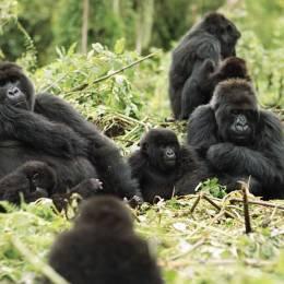 Enchanting Travels Rwanda Tours Gorilles à l'état sauvage - Guide de Voyage Rwanda