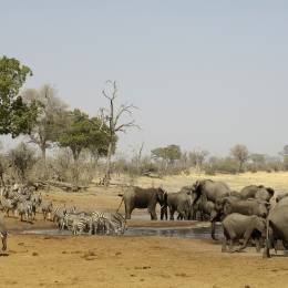 African elephant drinking at waterhole with zebra Savuti & Linyanti Botswana Africa Safari tour