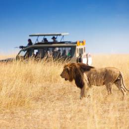 Lion in front of safari car