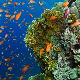 Unterwasseraufnahme von bunten Fischen und Korallen vor Mauritius