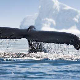 best time to visit antarctica to view of icebergs and whale in Antarctica
