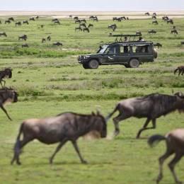 Migration des gnous dans le Mara