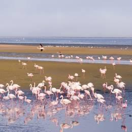 Eine Gruppe von rosa Flamingos auf dem Meer bei Walvis Bay, Namibia, Afrika