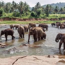elephants in pinnawela sri lanka, Asia