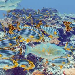 The Oriental sweetlips and Bigeye emperors, Maldives, Asia