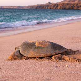 Things to do in Oman - Turtle