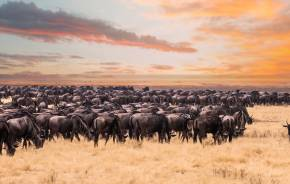 Gnuherde bei der großen Gnu-Wanderung in der Serengeti in Tansania, Afrika