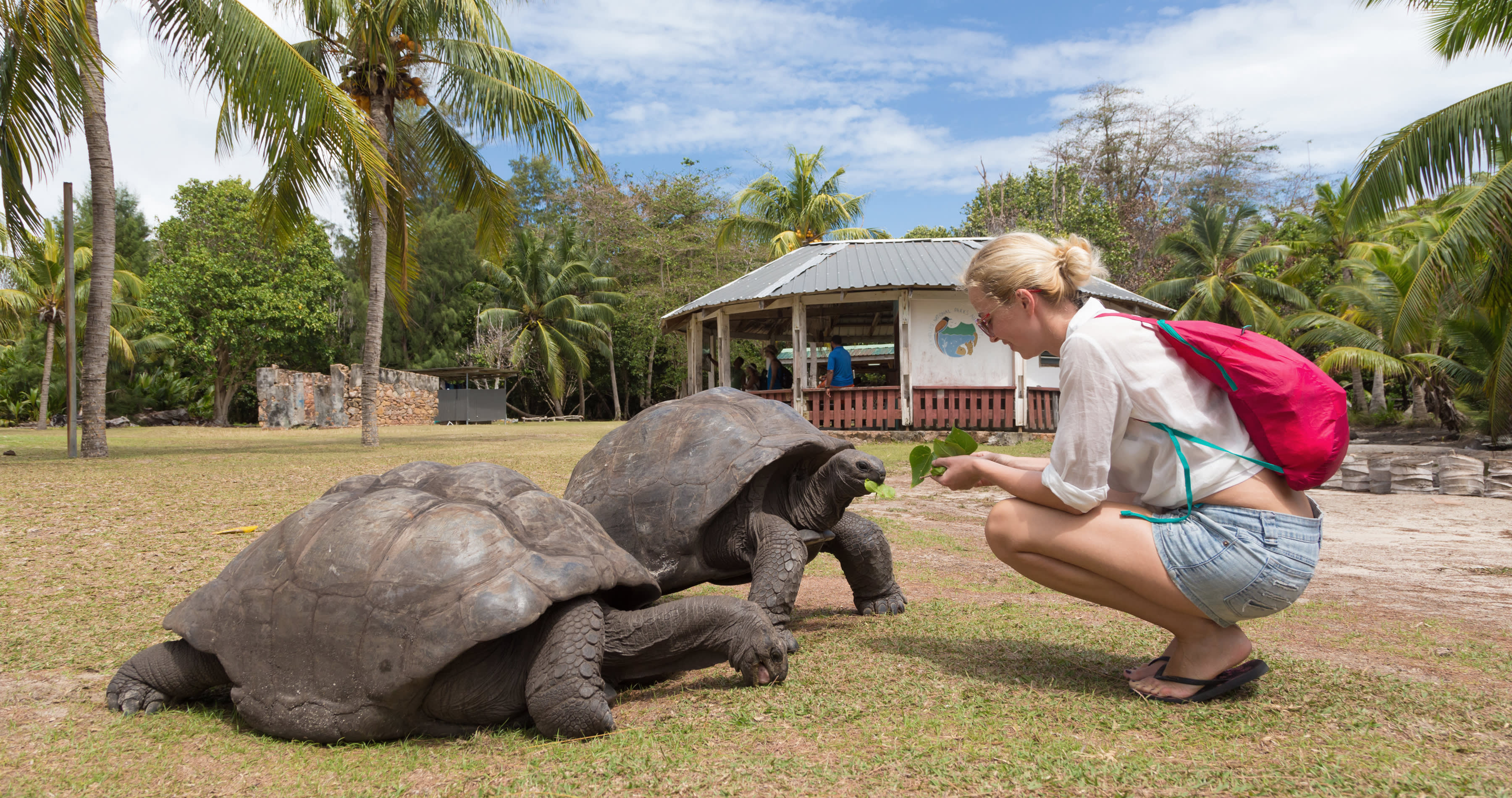 Seychelles safety - Female tourist woman feeding old Aldabra giant tortoises in National Marine Park on Curieuse island, Praslin, Seychelles, Africa - Seychelles travel guide