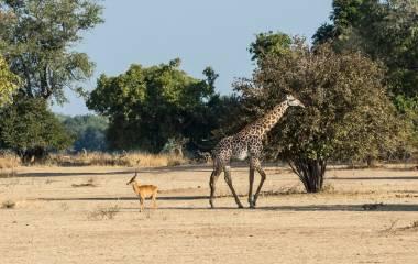 Giraffe in South Luangwa, Sambia