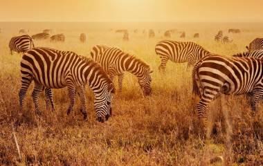 Zebras beim Fressen