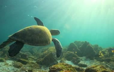 Unterwasseraufnahme einer Meeresschildkröte bie den Galapagos-Inseln, Ecuador