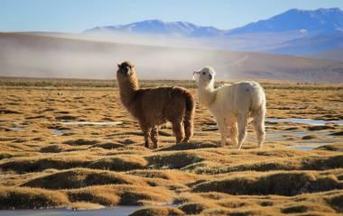 Zwei Lamas stehen im weiten Grasland des Altiplano in Bolivien