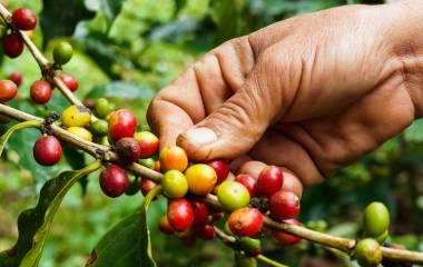 Coffee bean, Ecuador, South America