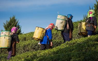 Enchanting Travels India Tours Farmers harvest Oolong tea leaves in a tea plantation on the morning time