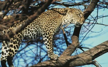 Geparden im Tsavo East Nationalpark