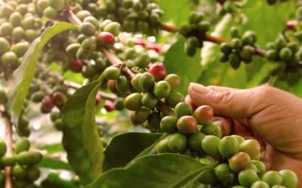 Kaffeebohnen in Kolumbien werden per Hand gepflückt