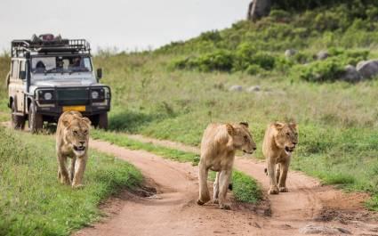 Drei Löwinnen laufen vor einem Geländewagen