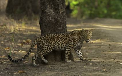 Indian Leopard in Kanha Tiger Reserve, Madhya Pradesh