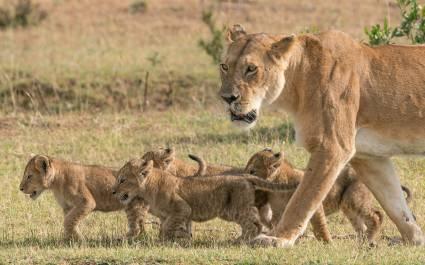 Löwin mit ihren Jungen in der Masai Mara, Kenia
