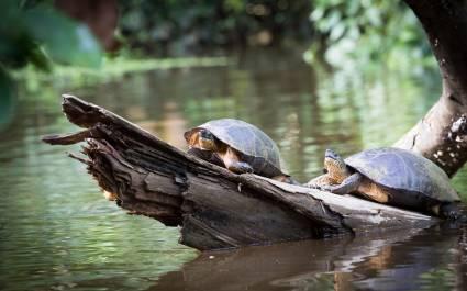 Schildkröten im Tortuguero-Nationalpark, Costa Rica