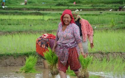 Drei Arbeiterinnen in den Reisfeldern von Kathmandu, Nepal